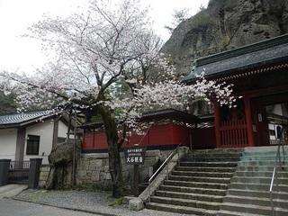 カタクリ2013 114.JPG